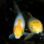 yellow and white koi